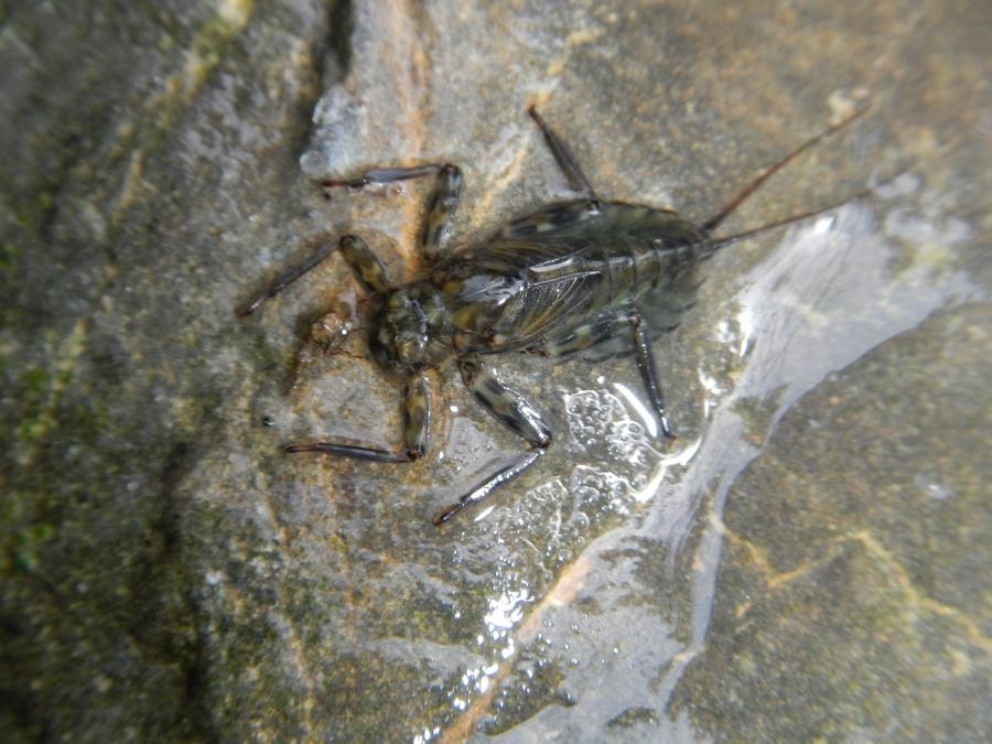 Insecte de la Dranse de Morzine - Mai 2013